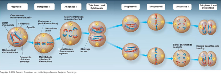 Stages Of Meiosis I And Meiosis Ii Chem Anatomy Stage