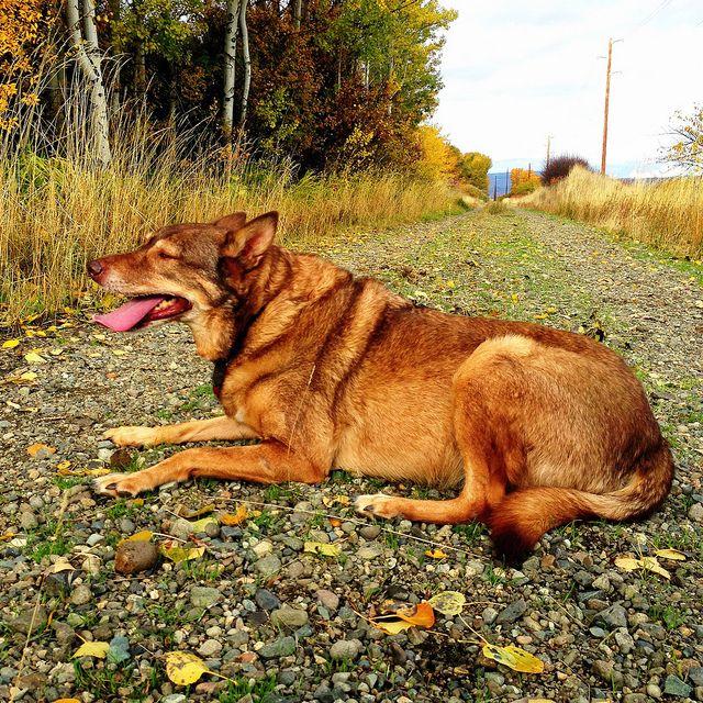 Photo American Indian Dog, Thorp, Washington (Nov 2012