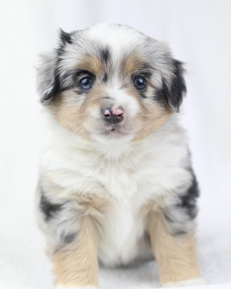 Aussalier Aussie Cavalier Mix Merle Puppy Mini Aussie Mix Aussie