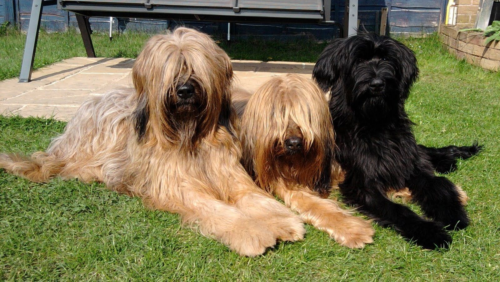 Briard Dog Photo Md10 Dog Client With Briards And Md10