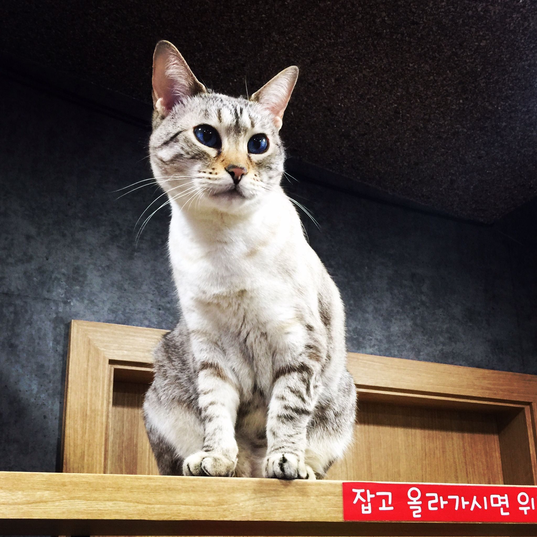 The official greeter at the Cat Cafe in Seoul, South Korea