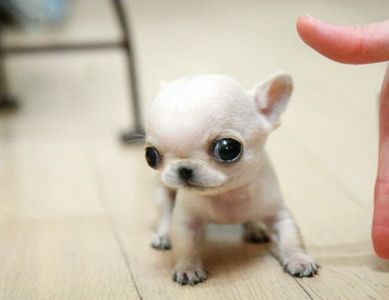Is The Applehead Chihuahua A Different Breed Of Dog Puppy Toob Chihuahua Puppies Funny Animals Cute Dogs