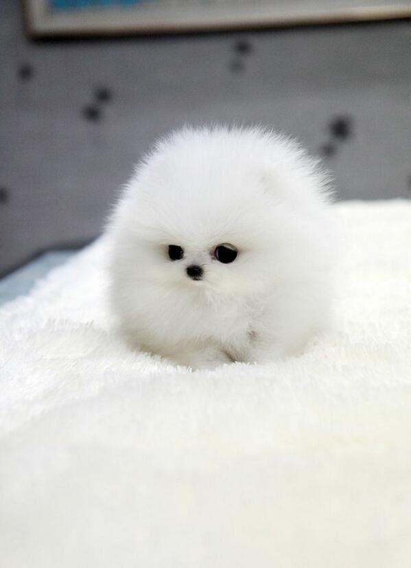 Weisser Teacup Pomeranian Beliebt Bilder Cute Animals Cute Baby Animals Cute Animal Pictures