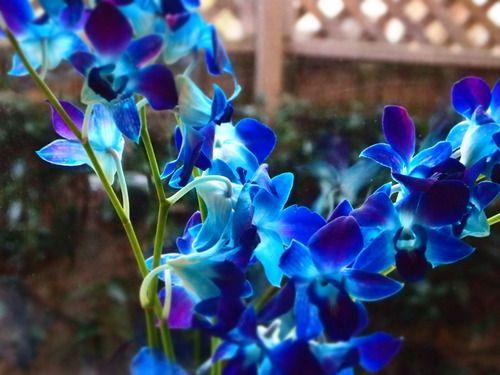 38738 12356 34349 8230 29645 12375 12356 12397 65281 Blue Orchids Orchids Blue Orchid Bouquet