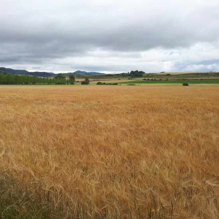Cereales cambiando de tono en Arkaia, Vitoria - Gasteiz