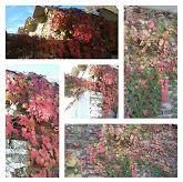 collage con picsart armado con fotos de la hiedra en  otoño