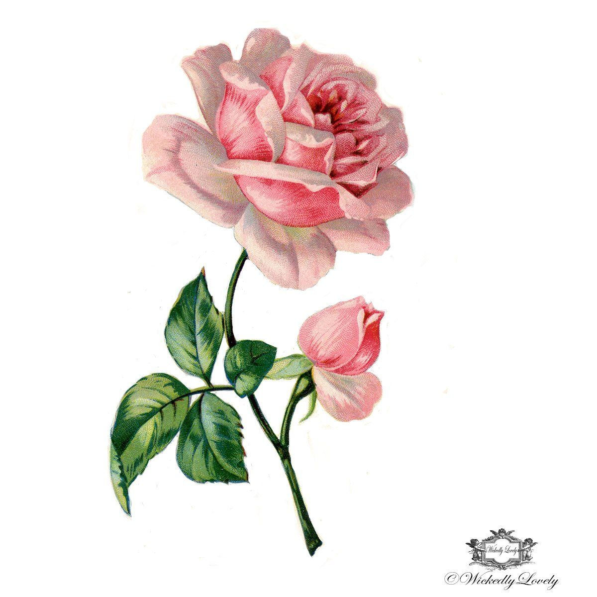 Victorian Pink Rose Book Illustration Wintage Floral Tattoo Flower Drawing Flower Illustration Vintage Rose Tattoos