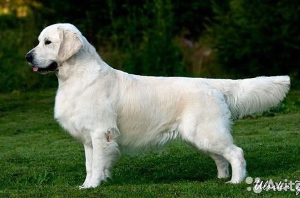 English Cream Golden Retriever The Sire Of Our Current Litter