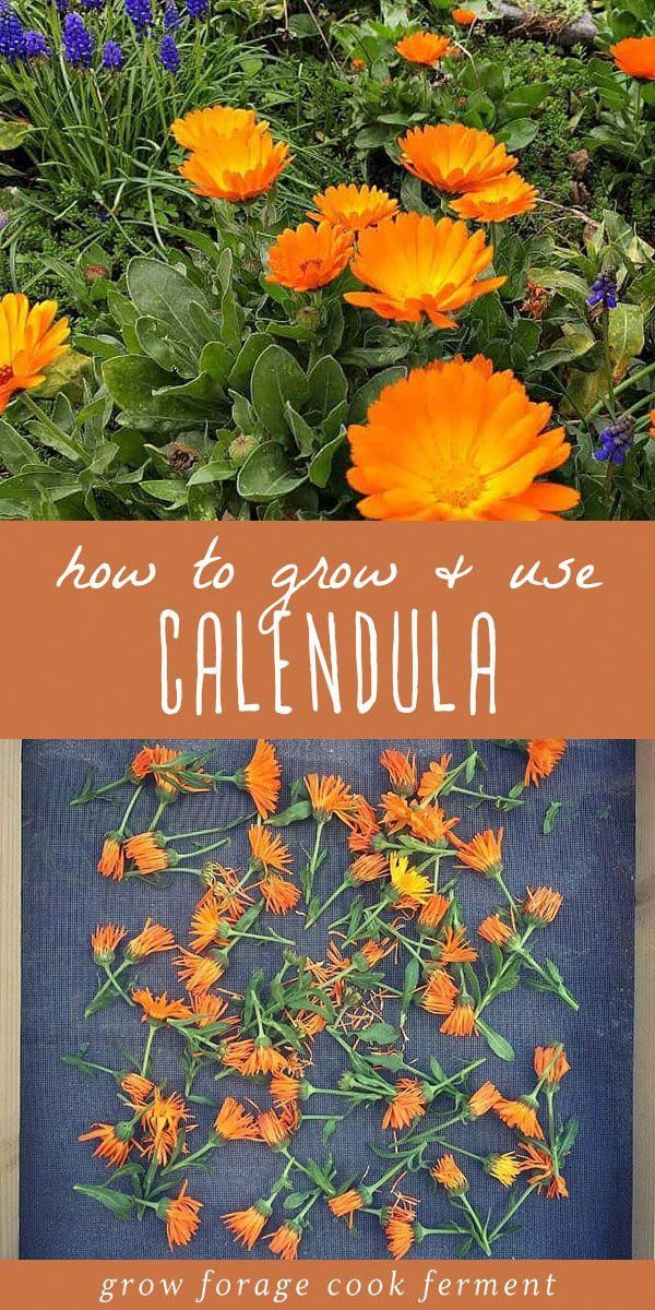 Calendula is a plant that everyone should have in their yard, for multiple reasons. Calendula is a versatile plant with many herbal, medicinal, and culinary uses. It's easy to grow in your backyard garden, and makes for both a beautiful and usefl companion plant. Learn all about this amazing edible, medicinal, and beautiful herb! is a plant that everyone should have in their yard, for multiple reasons. Calendula is a versatile plant with many herbal, medicinal, and culinary uses. It's easy to grow in your backyard garden, and makes for both a beautiful and usefl companion plant. Learn all about this amazing edible, medicinal, and beautiful herb!