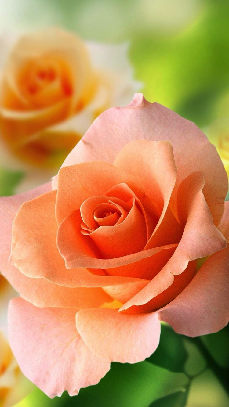 Pretty Orange Rose Gudjung Flowers Pinterest Orange Roses