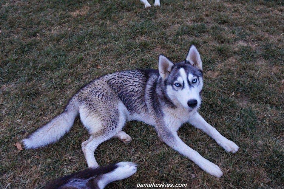 A Pic Of Husky Dog Rylee Www Bamahuskies Com Cute Husky