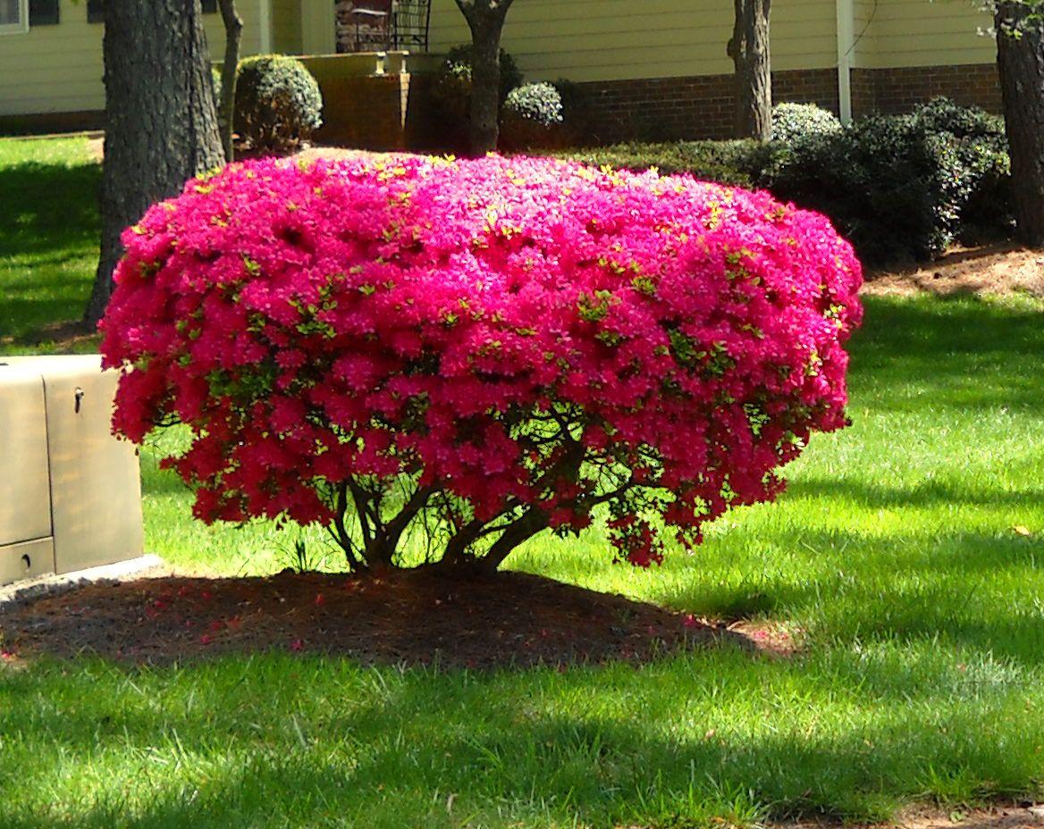 azaleacupcake.jpg (1168×928) Azaleas, Outdoor design, Garden