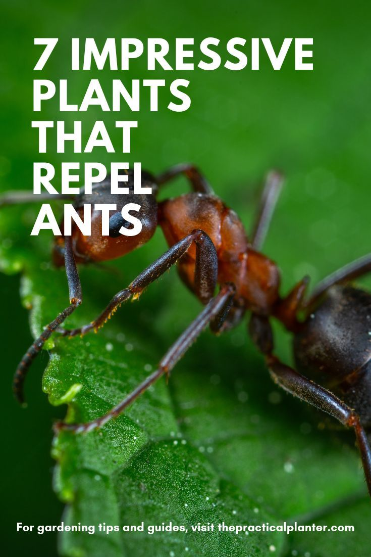 7 Impressive Plants That Repel Ants (And What Attracts