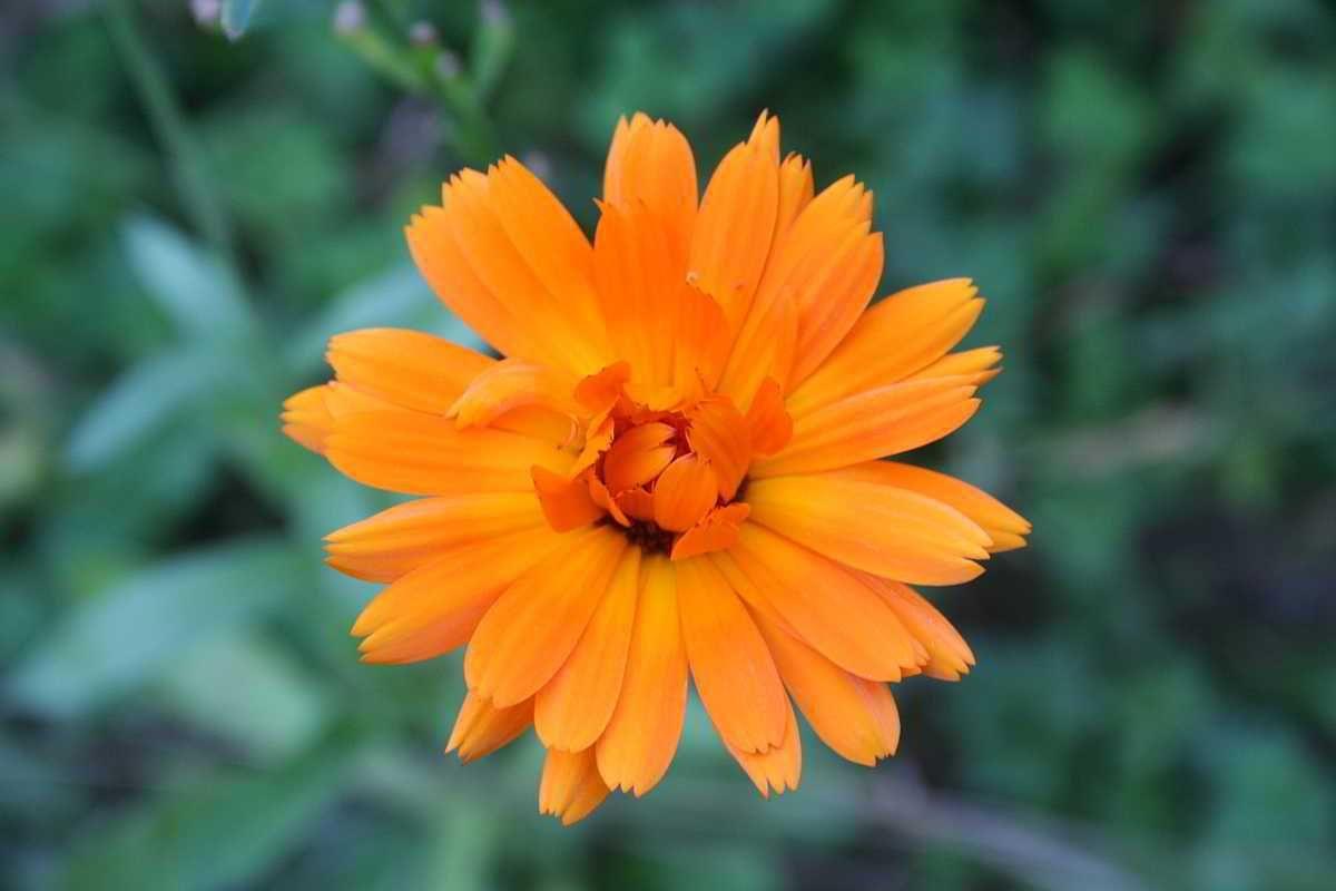 In einer Ringelblumen-Räucherung geht es meistens um Liebe. Liebende werden mit ihr beräuchert, damit die Liebe ewigen Bestand hat. Sie bringt Sonne in unser Herzen und wir werden empfänglich für u...