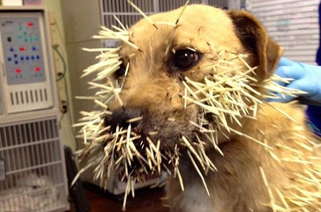 How To Get Porcupine Quills Out Of A Dog S Nose