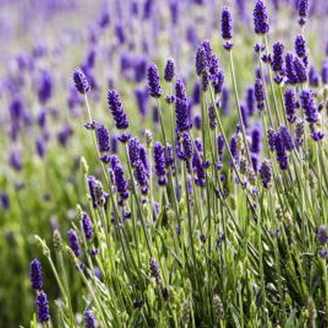 Lavender plants bring color and fragrance to a garden.