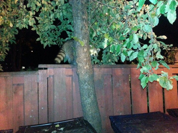 Raccoon pokes head out from behind of a tree.