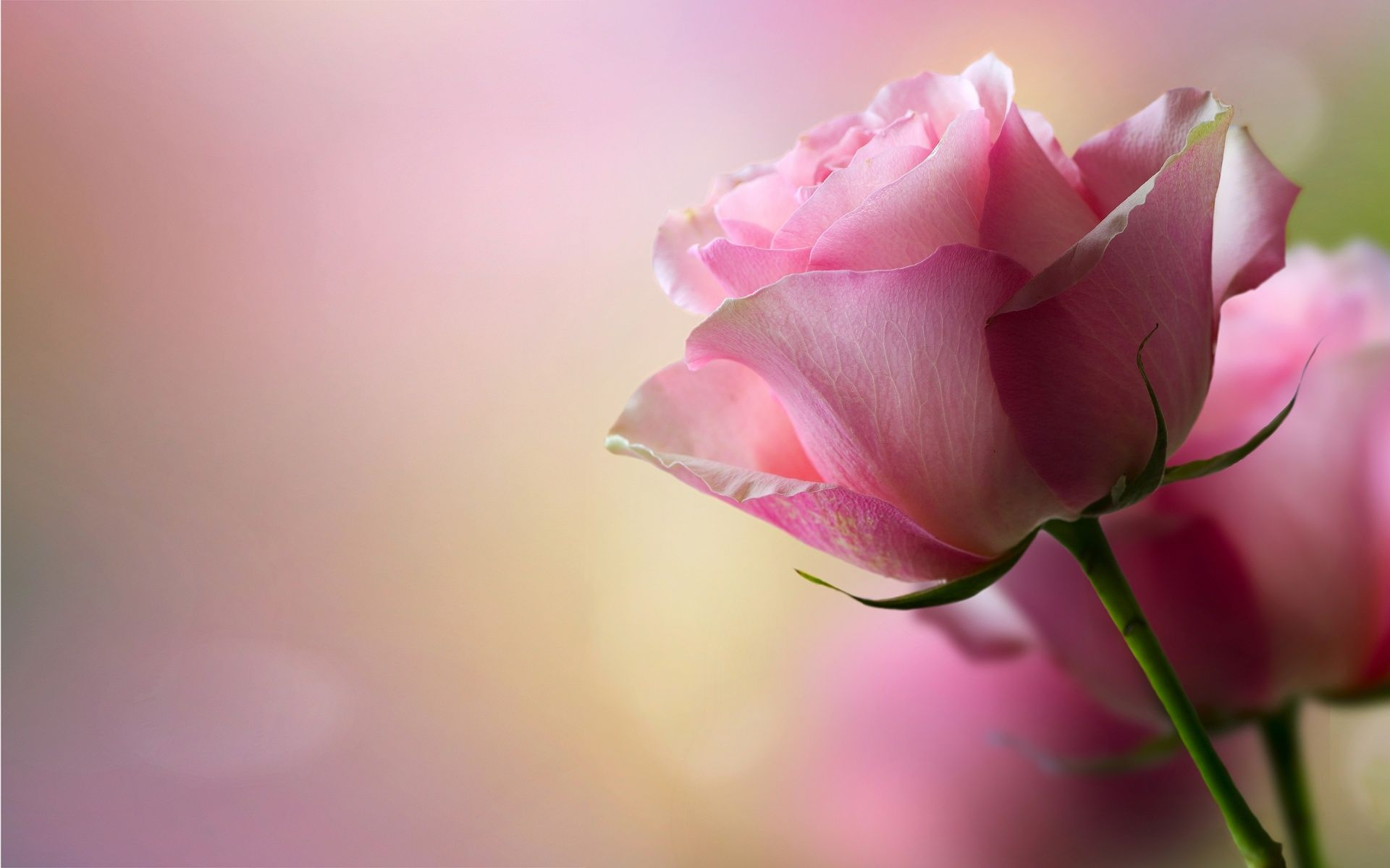 Download beautiful pink roses wallpaper 41267 1920x1200 px - Pink rose black background wallpaper ...