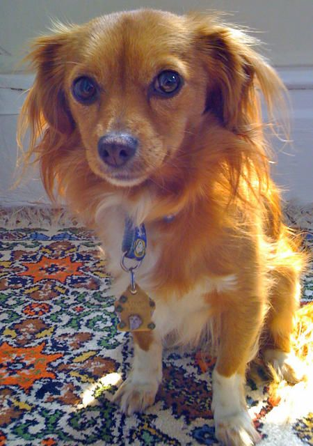 King Charles Cavalier Chihuahua Mix Never Even Heard Of This Mix