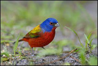طائر الراية الملونة Painted Bunting Pet Birds Bunting Bird