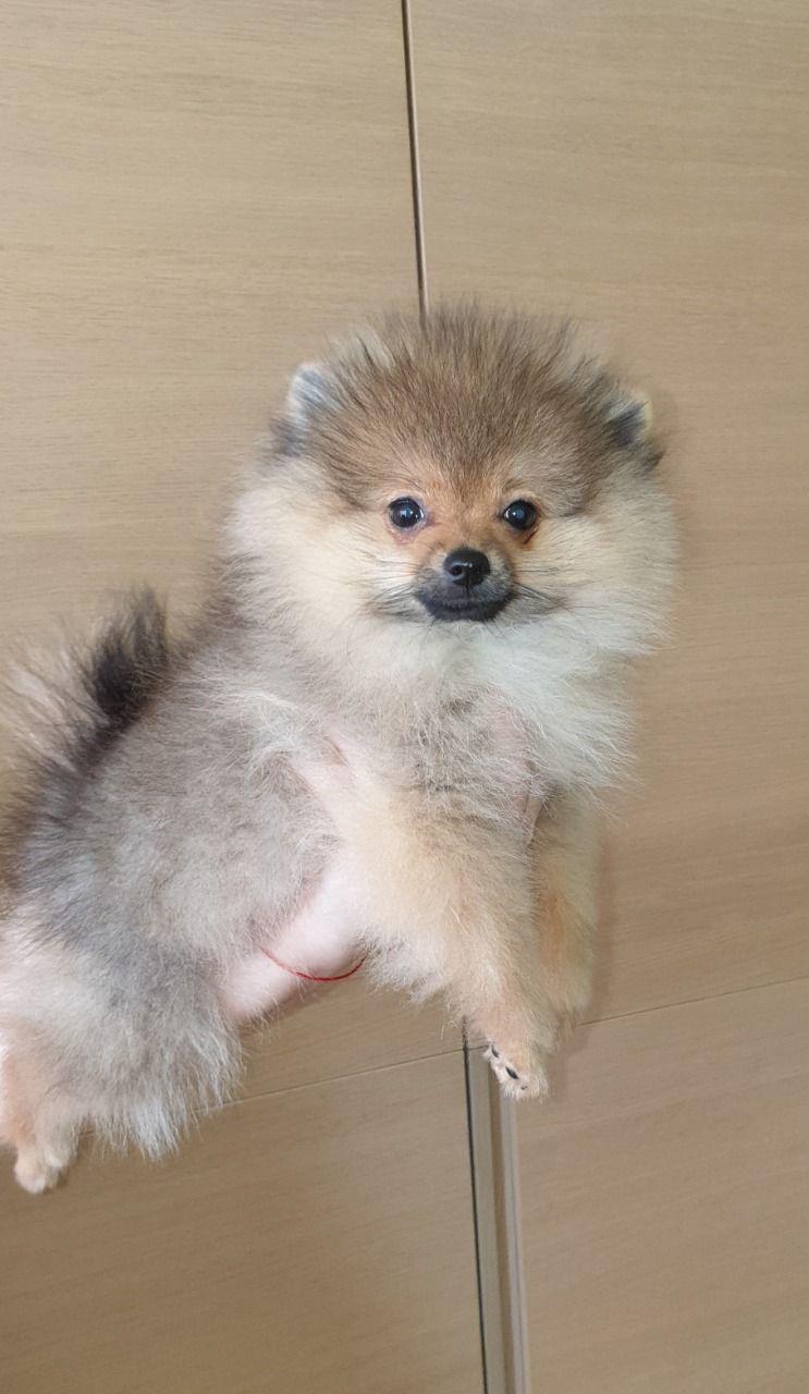 Pomeranian Puppies For Sale In Kuwait Pomeranian Puppy For Sale