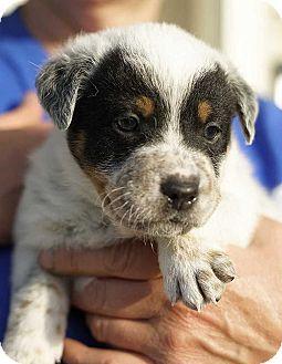 New York, NY - Blue Heeler Mix. Meet Bruce Wayne!!, a puppy for adoption. http://www.adoptapet.com/pet/18379219-new-york-new-york-blue-heeler-mix