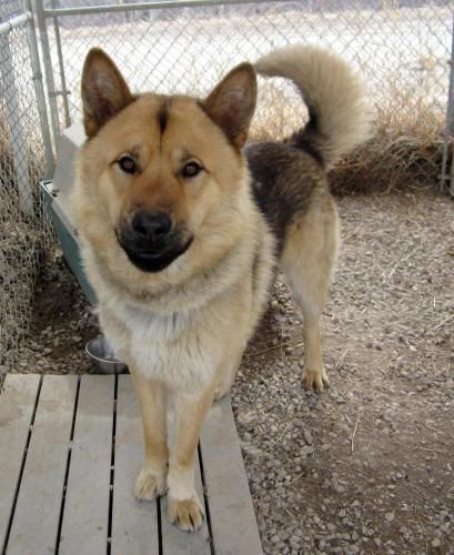 German Shepherd Husky Chow Chow Mix Riley Is A Darker Version Of