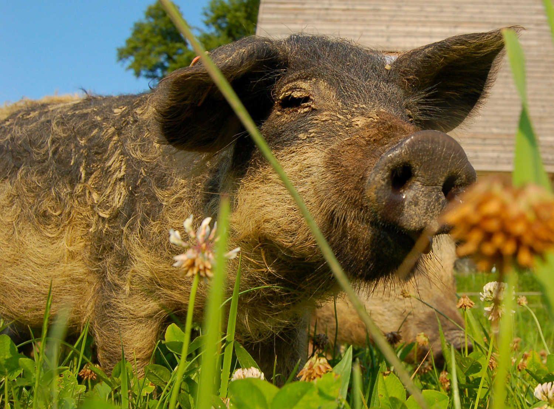 Schweine und Schweinebauern in der kalkulierten Strukturtragödie. Geringes Einkommen und schlechte Haltungsbedingungen gehören dazu...