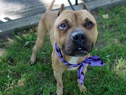 TO BE DESTROYED 6/23/14 Manhattan Center   My name is MURPHY. My Animal ID # is A1003779. I am a male tan and white pit bull mix. The shelter thinks I am about 2 YEARS   I came in the shelter as a STRAY on 06/19/2014 from NY 10030, owner surrender reason stated was STRAY.