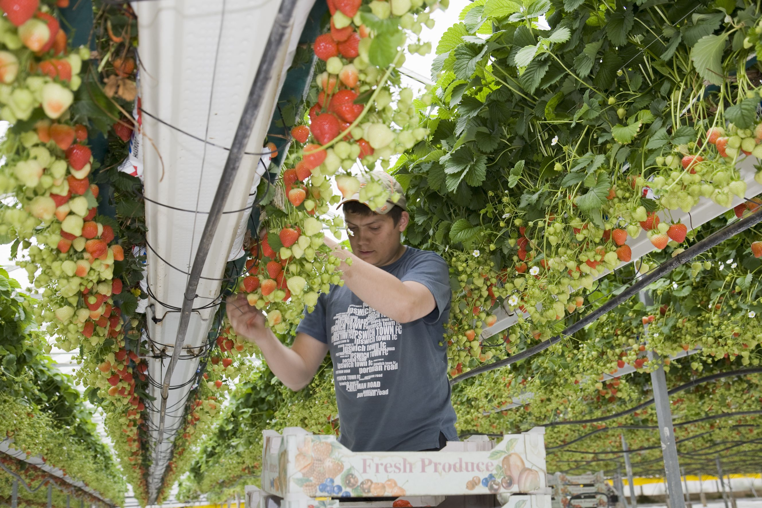 Tabletop Systems Have Revolutionised Commercial Strawberry Production In Recent Years