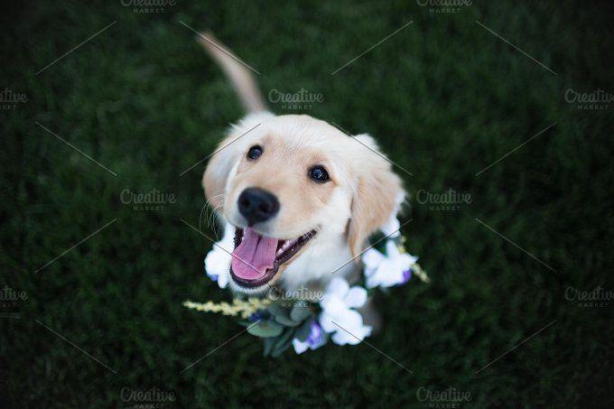 Puppy Stock Photo Dog Stock Photo Puppies Golden Retriever