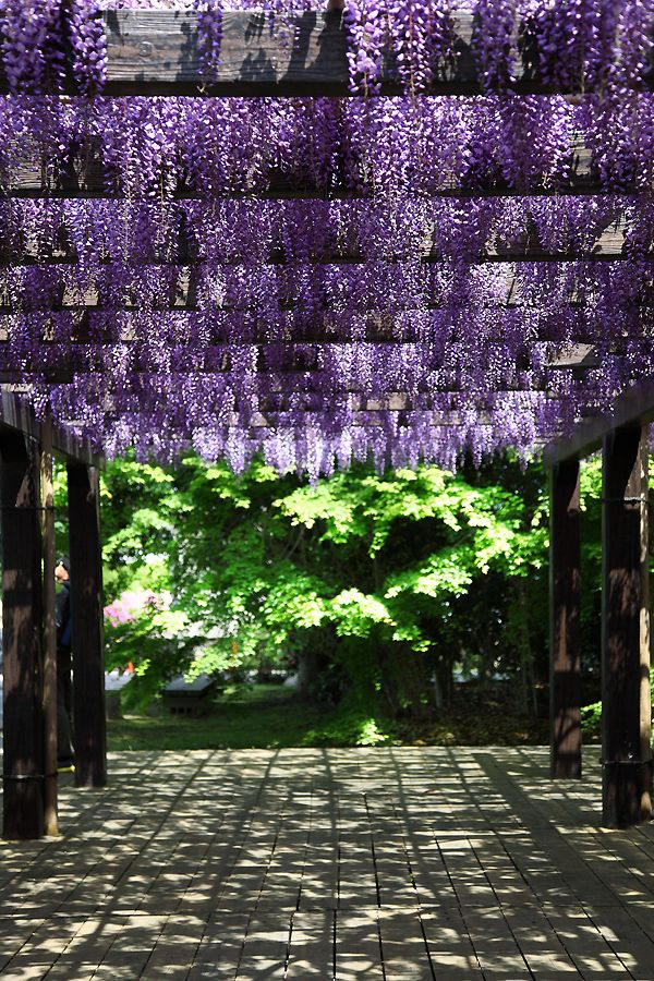 Kamitoriba, Kyoto, Japan 上鳥羽浄水場 京都: photo by 92san #wisteria