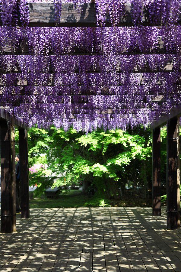Kamitoriba, Kyoto, Japan 上鳥羽浄水場 京都: photo by 92san #wisteria
