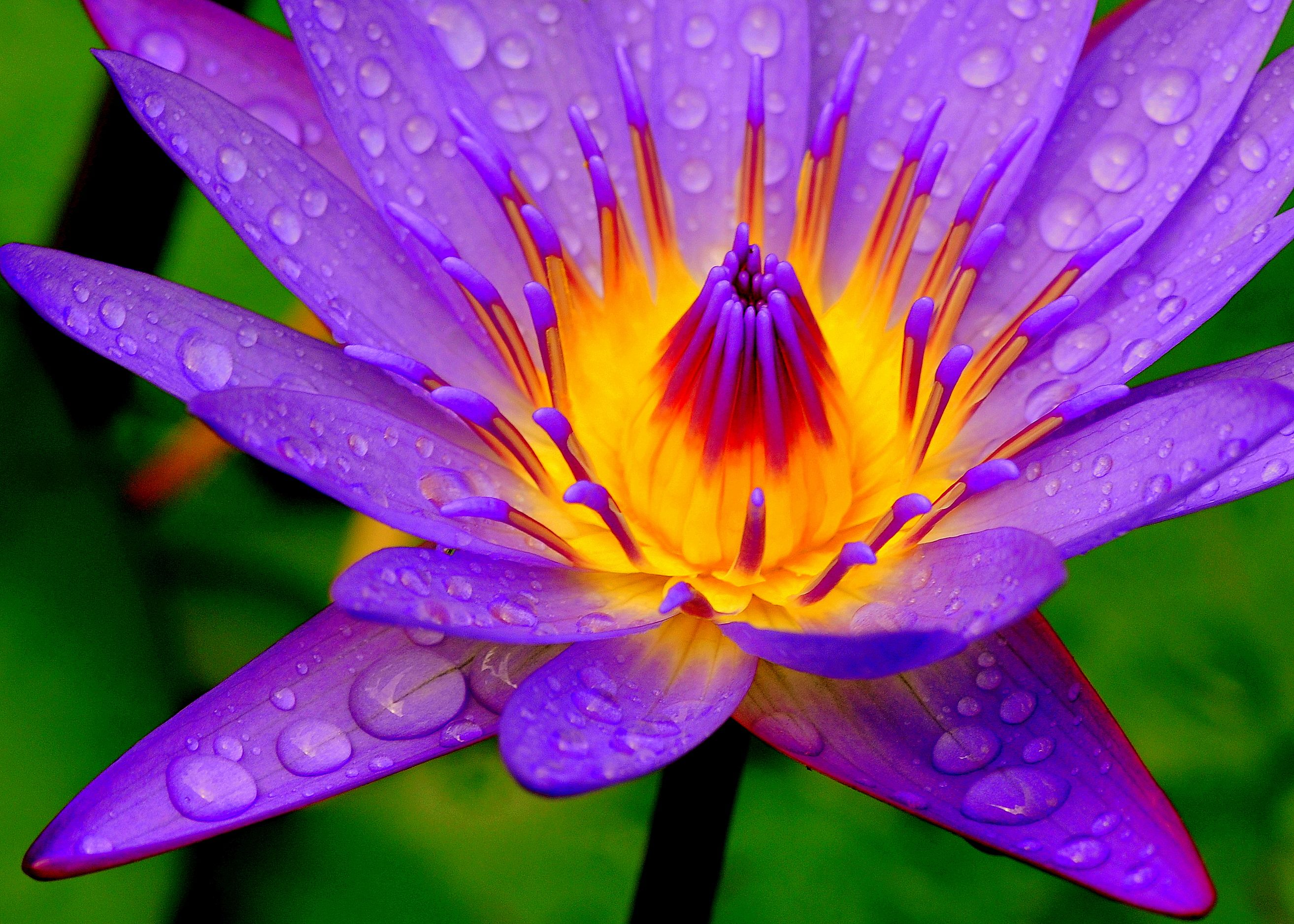 Water lily water lilies flora and beautiful flowers water lily best flowersmost beautiful izmirmasajfo Images