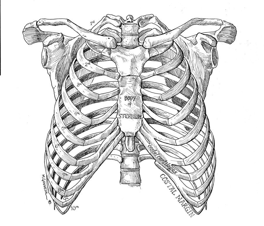 best 25  rib cage drawing ideas on pinterest