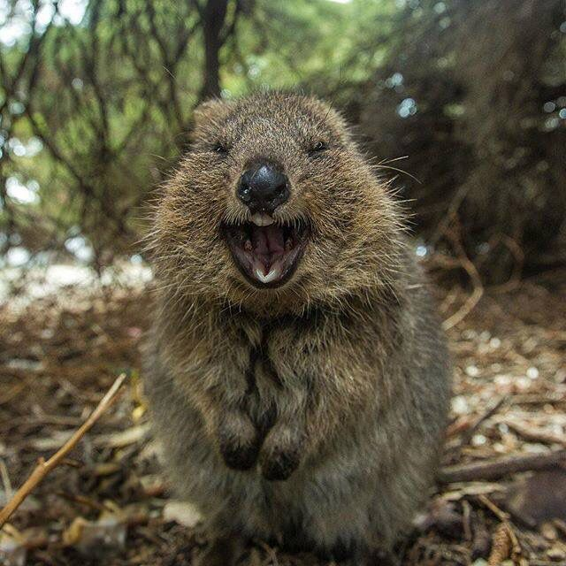 Pin by Natalie Canner on Cute | Quokka, Laughing animals ...