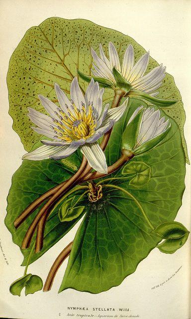 Nymphaea Stellata from Flore des serres et des jardins de l'Europe. A Gand: chez Louis van Houtte, editeur, 1845-1880