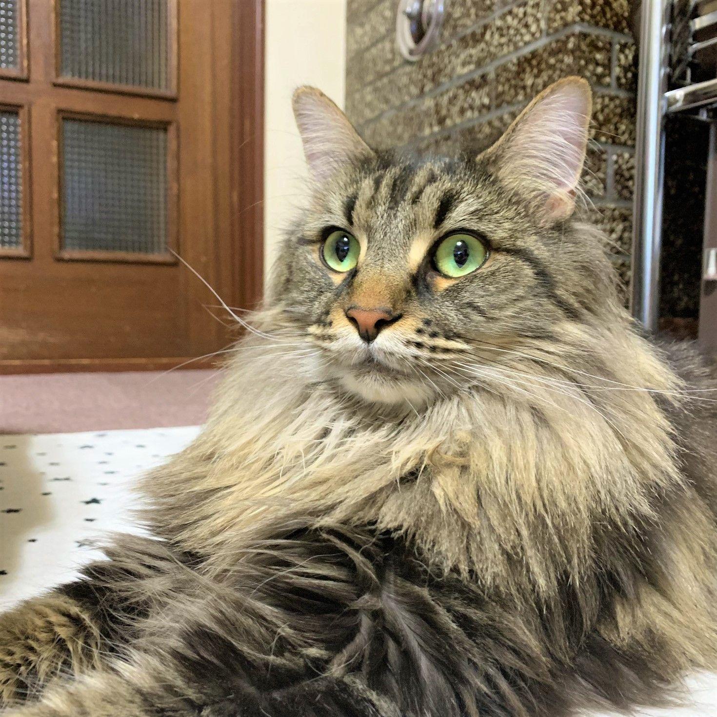 親バカですが、美男子くんです  ------------------ 【今日のねこちゃん】より  投稿者: アリサ バロン♂ / 3歳 / メインクーン ------------------ #猫好きさんとつながりたい #猫 #ねこ #子猫 #ねこ部 #にゃんすたぐらむ #にゃんこ #にゃんだふるライフ #ふわもこ部 #ネコ #ねこのいる生活 #kitty #catstagram #catstagram_japan #petstagram #instacat #meow #catoftheday #ilovemycat