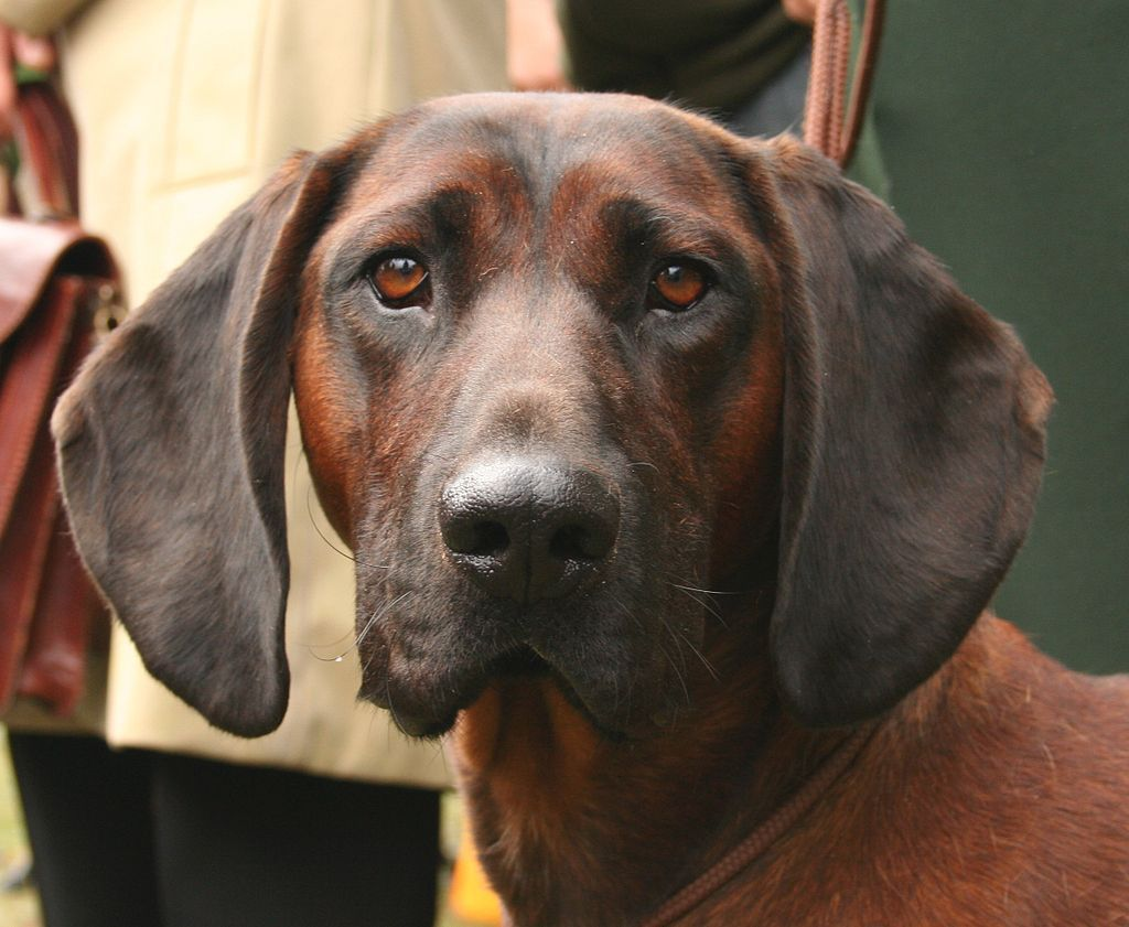 Bayerischer Gebirgsschweißhund Schweißhund, Bayerischer