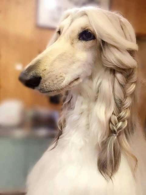 Afghan Dog With Braids Hound Dog Breeds Beautiful Dogs