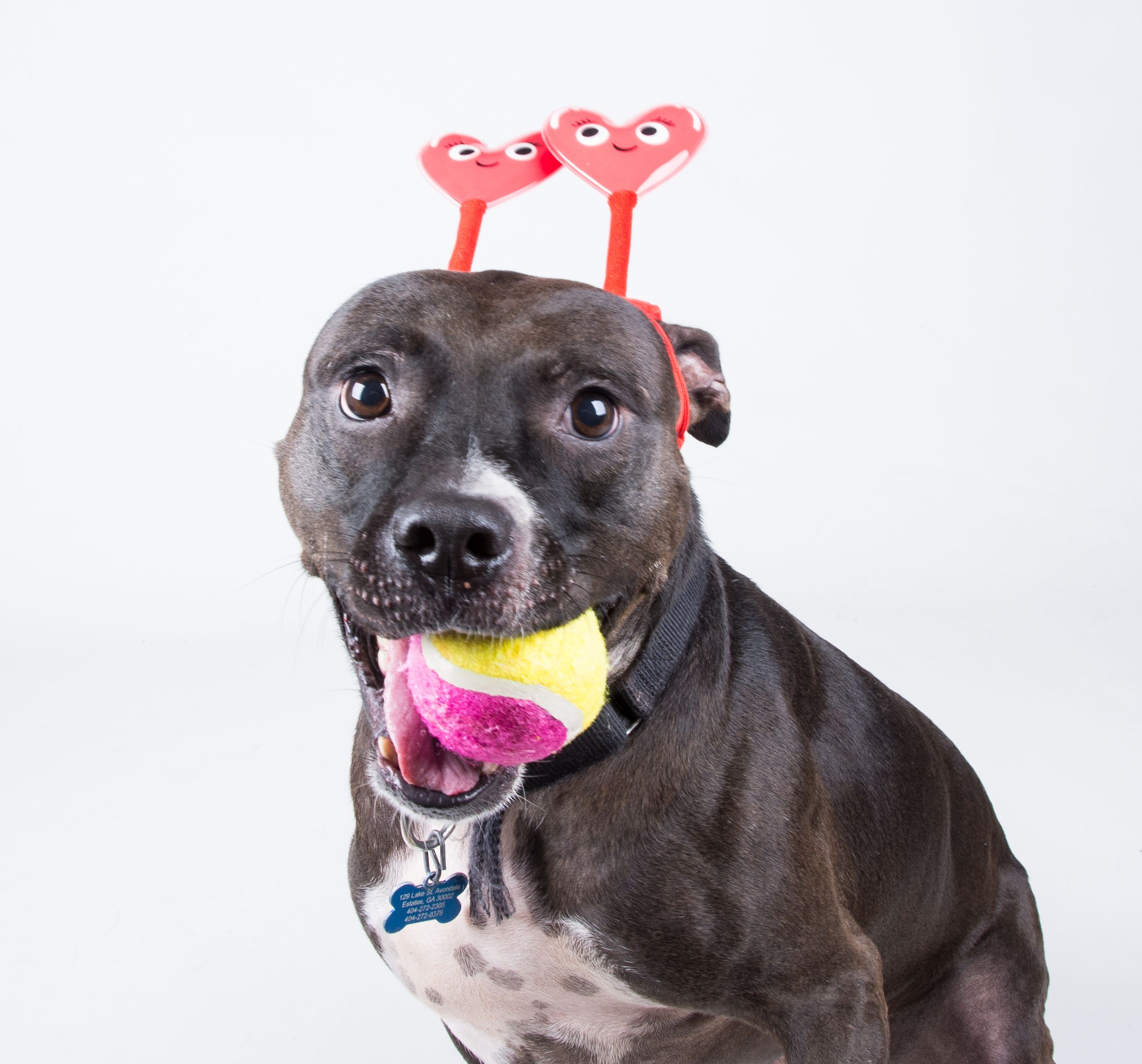 Love and tennis balls, that is Samantha's motto! This LifeLine staff favorite is ready to join you wherever you go. If you are looking for a sidekick, look no further than Samantha!