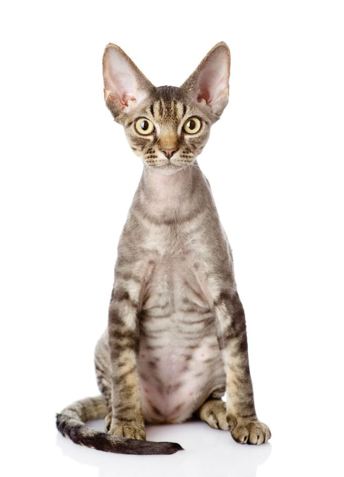 Low Shedding Cat Breeds Devon Rex In 2020 Devon Rex Cats Rex Cat Cat Breeds