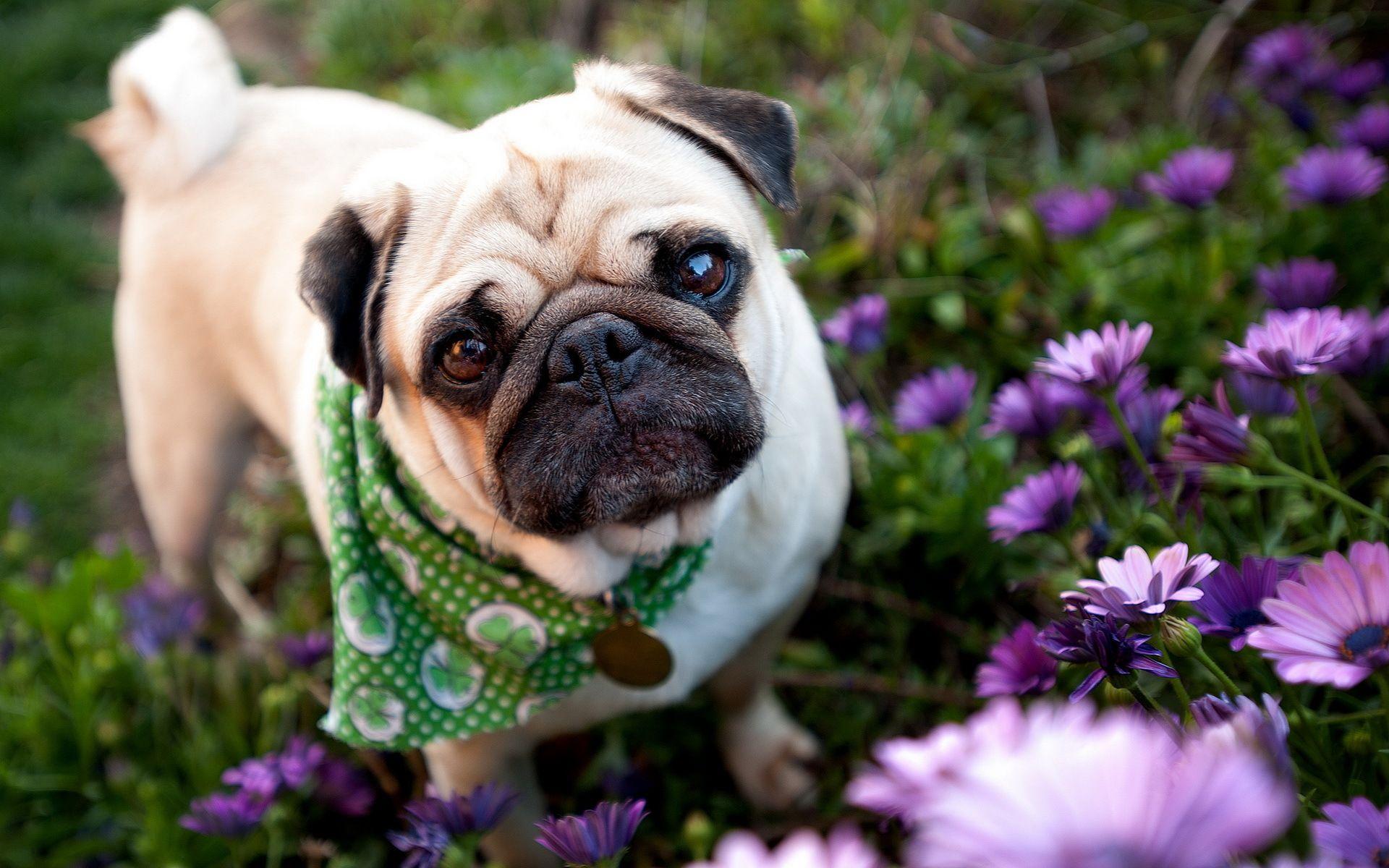 Dog Pug Garden Flowers Face Eyes Wallpaper 1920x1200 57995