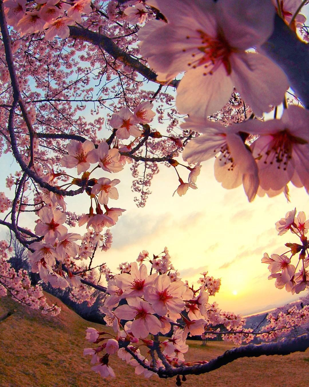 The beauty of the Sakura (Cherry Blossoms) at sunset