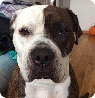 New York Ny American Bulldog Mix Meet Puppa A Dog For Adoption