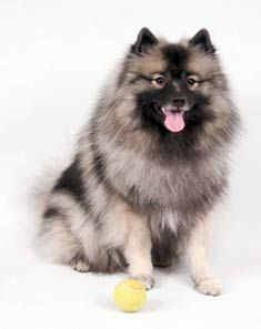 Keeshond And Cats keeshonds puppi...