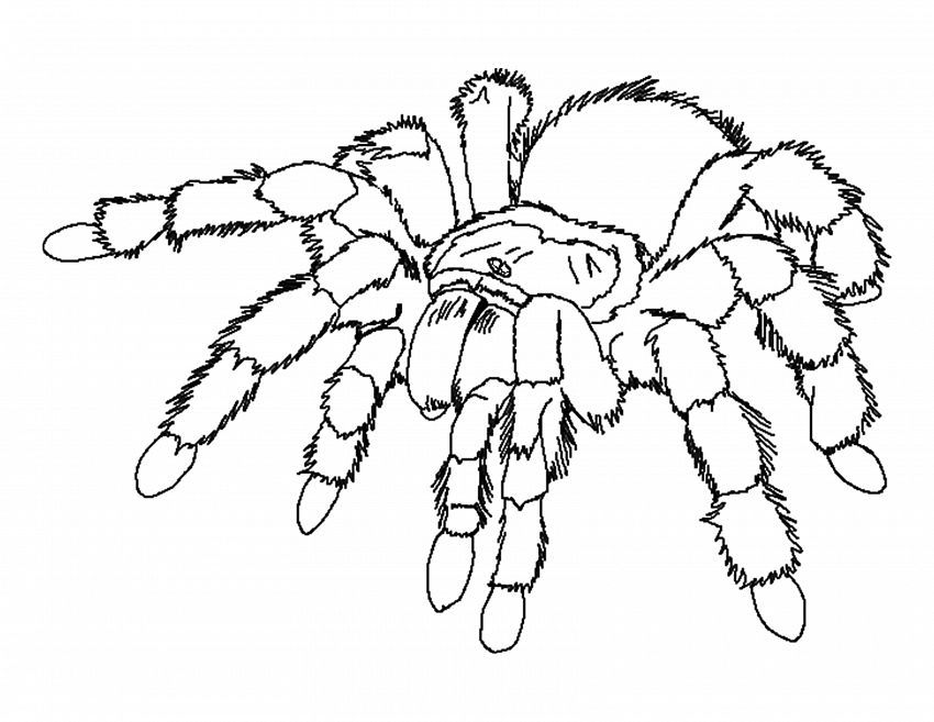 Black Widow Spider Coloring Pages For Kids On Colors Of Pictures Com Spider Coloring Page Insect Coloring Pages Bug Coloring Pages
