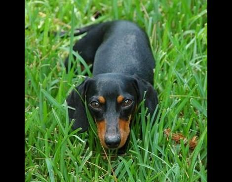 A black-and-tan smooth-haired Dachshund