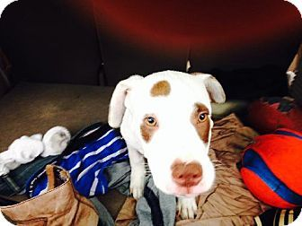 DREXEL...CA...Los Angeles, CA - Labrador Retriever/Pit Bull Terrier Mix. Meet Drexel, a dog for adoption. http://www.adoptapet.com/pet/11435066-los-angeles-california-labrador-retriever-mix