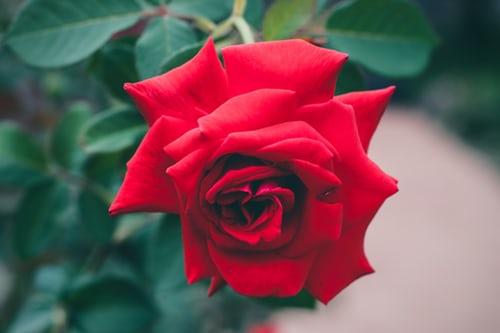 اجمل ورود الحب والعشق أجمل ورود الحب في العالم Zina Blog Flower Images Rose Images Rose Day Wallpaper